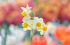 С праздником Пасхи! (master Doratan) Tags: 2018 botanicalgarden flower march spring daffodils macro bokeh easter orthodoxeaster