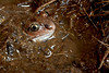Common spadefoot toad / Pelobate brun (Pelobates fuscus) (Adrien Farese) Tags: pelobates fuscus pélobate brun common spadefoot toad amphibians lorraine moselle france batracien