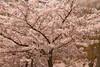 London Blossom (Adam Swaine) Tags: trees springblossom spring street london canon english england britain cities uk beautiful seasons leaves nature naturelovers