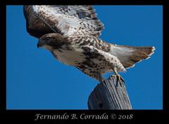 Red-tailed Hawk (5947) (fbc57) Tags: redtailedhawk buteojamaicensis raptors birdsofprey accipitridae nikond850 nikon200500f56eedvrafs southburlington vermont butlerfarms birds