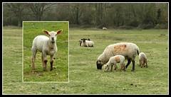 Sheep and Lambs. (jenichesney57) Tags: