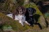 Friends (Flemming Andersen) Tags: labrador zigzag spaniel landscape pet buddy friends dog black outdoor hund green nature animal hurupthy northdenmarkregion denmark dk