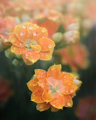 Into the Rain (Charles Opper) Tags: canon georgia queenkalanchoe spring color doubleexposure flowers nature raindrops soft waterdrops midway unitedstates
