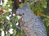 Gang-gang Cockatoo - Female (Hoskinstown, NSW) (Busfanatic101) Tags: birds cockatoo hoskinstown nsw nikoncoolpixp610