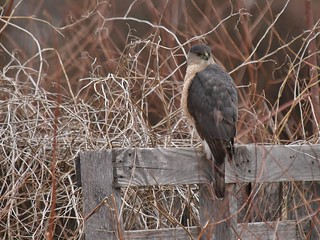 Cooper's Hawk On Old Garden Fence,  Mackworth Island
