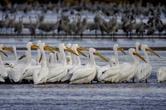 Pelicans (aurospio) Tags: americanwhitepelican nebraska pelecanuserythrorhynchos bird crane pelican sandhillcrane whitepelican cranetrust platteriver