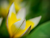 Razor-sharp and soft as butter (Karsten Gieselmann) Tags: 60mmf28 blumen blüten bokeh dof em5markii frühling gelb grün jahreszeiten mzuiko makro microfourthirds natur olympus pflanzen schärfentiefe sterntulpe tardatulpe tulipatarda tulpe weis blossom flower green kgiesel m43 macro mft nature seasons spring tardatulip tulip white yellow burglengenfeld bayern deutschland