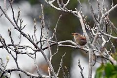 Bird, rain (etienne65) Tags: nikon nature donegal d500 wildlife arbre tree codonegal irlande ireland sigma sigma150500mm bird oiseau
