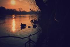 Abendstimmung am Main... (hobbit68) Tags: sunsets sonnenschein sonnenuntergang main river fluss enten sonne water wasser frankfurt fechenheim
