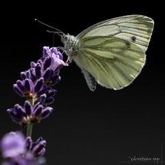 """Papillon """"Piéride du navet"""" /  Pieris napi (christian.rey) Tags: papillon pieris brassicae insecte lavande sony alpha a7r2 a7rii 70200 butterfly suisse switzerland pierisnapi piéridedunavet"""