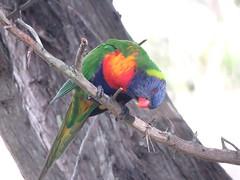 2018-06-19_05-46-28 (pritchardsue1) Tags: birds avian aves oiseaux australianbirds wildlife nature