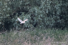 Barn Owl - Woods Mill (139) (Malcolm Bull) Tags: include woods mill barn owl 20180620woodsmill0139edited1web