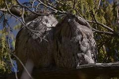 Tawny Frogmouths (Luke6876) Tags: tawnyfrogmouth frogmouth bird animal wildlife australianwildlife
