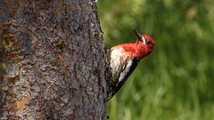 Red-breasted Sapsucker (Bob Gunderson) Tags: birds california donnercamp nevadacounty northerncalifornia redbreastedsapsucker sierras sphyrapicusruber woodpeckers