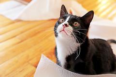 Happy Gotcha Day! (kirstiecat) Tags: cat feline jarvis towel purr meow chat gato gotchaday furryfriday tuxedocat blackcat kitty