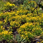 Yellow Wildflowers While Hiking in the Chisos Mountains (Big Bend National Park) thumbnail