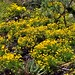 Yellow Wildflowers While Hiking in the Chisos Mountains (Big Bend National Park)
