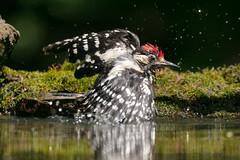 Taking off from the pool. (Gergely_Kiss) Tags: dendrocoposmajor nagyfakopáncs greatspottedwoodpecker canon5dsr debrecennagyerdö forestbirds foresthide hidephotography sakertourhides tamron150600g2