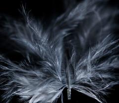 "Low key feather (alisonsage1) Tags: macromondays ""line symmetry"" feather macro"