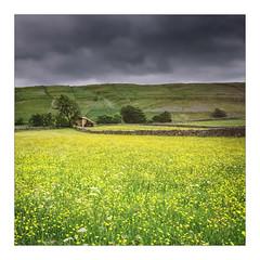 Litton Dale (gerainte1) Tags: yorkshiredale littondale barns buttercups yellow colour film portra400 hasselblad501