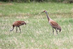 Sandhill Crane; Antigone canadensis (phenolog) Tags: sandhillcrane antigonecanadensis bird canada gruiformes gruidae