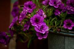 Beautiful Blooms (isleen72) Tags: 2018photochallenge 10thanniversaryphotochallenge softlight flowers colors tempusaura