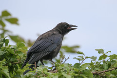 Carion Crow (Dougie Edmond) Tags: monkton scotland unitedkingdom gb bird birds nature wildlife summer