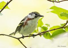 Chestnut-sided Warbler (sbuckinghamnj) Tags: warbler bird chestnutsidedwarbler mageemarsh ohio