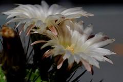 Flor de Cactus (ameliapardo) Tags: flores cactus cactusysuculentas floresdecactus plantas macrodeflores macro fujixt1 leicamacror60 sevilla andalucia españa