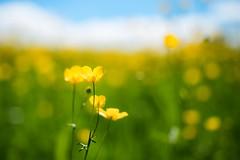 Meadow Buttercup (Claudia G. Kukulka) Tags: ranunculusacris meadowbuttercup ranunkel scharferhahnenfus flower blume meadow wiese sky himmel