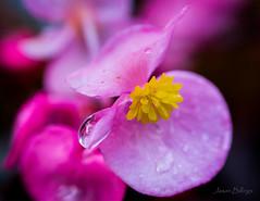 rain drop (jasonbillings677) Tags: flowers raindrop canon 5dmkiii colors