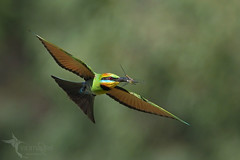 Rainbow Bee-eater (VS Images) Tags: rainbowbeeeater beeeaters meropsornatus meropidae male birds bird birding bif birdsinflight flight feathers wildlife wildlifephotography animals avian australianbirds australianwildlife australia nsw nature ngc naturephotography vsimages vassmilevski olympus olympusau olympusinspired getolympus m43 dragonfly insect australianemerald