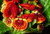 Toffelblomma (evisdotter) Tags: toffelblomma ladyspurse calceolaria krukväxt macro colors sooc flower blomma