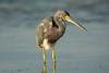 Stop action (ChicagoBob46) Tags: tricoloredheron heron bird florida bunchebeach nature wildlife coth5 ngc npc