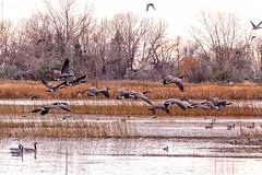 Kinbrook Marsh, Brooks (aud.watson) Tags: canada alberta newellcounty brooks prairies lakenewell kinbrookmarsh steppe palliserstriangle semiaridclimate albertaprairie ducksunlimitedcanada northamericanwaterfowlresources wetlands marsh pond ponds lake lakes breedinghabitat wetlandecosystem easternirrigationdistrict water migratingbirds migratinggeese migratingswans duck ducks goose geese swan swans canadagoose sky cloud clouds rainier ca brantacanadensis
