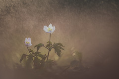 on the the spotlight (Thomas Vanderheyden) Tags: anemone anemonenemorosa bokeh colors couleur fleur fleursauvage flora flore flower fujifilm macro nature proxi samyang135mm thomasvanderheyden vegetal xt1
