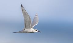 Forster's Tern (Selkii's Photos) Tags: birds california forsterstern lasgallinasponds lasgallinasvalleysanitarydistrict marincounty sanrafael sternaforsteri tern