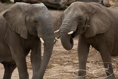 Tendaji and Gypsy (shutterbugdancer) Tags: chimpanzee kamba gypsy tendaji lion lemur elephant adhama dallaszoo zoo animals boipelo hippos giraffe reticulatedgiraffe gorilla congo jenny
