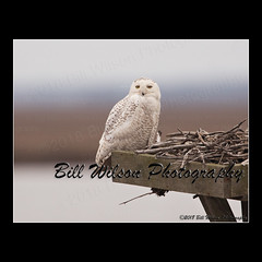 snowy owl (wildlifephotonj) Tags: wildlifephotographynj naturephotographynj snowyowl owl owls raptor raptors wildlifephotography wildlife nature naturephotography wildlifephotos naturephotos natureprints birds bird