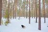 Coming mom?? (evakongshavn) Tags: winter winterwonderland winterlandscape wonderlandscape wonderfulworld wonderland snow dog dogsonadventures dogsthathike dogsofnorway flickrdogs forest wald foret trees 7dwf