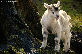 Junge Ziege / Young Goat