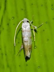 Speckled silky leg moth Austromartyria sp aff porphyrodes Micropterigidae Airlie Beach rainforest P1220116 (Steve & Alison1) Tags: speckled silky leg moth airlie beach rainforest 5mmlong austromartyria sp aff porphyrodes micropterigidae wooly mop head