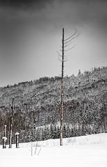 beauty from imperfection, Hokkaido (Peter & Olga) Tags: 2018 biei fujifilm japan olgabaldock day3 winter snow imperfection trees cloudy