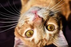 Max (alissac88) Tags: cat cats kitten kitty pet home love orange tabby whiskers stripes meow feline