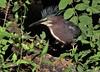 from out of the wilderness (don.white55 That's wild...) Tags: greenheronbutoridesvirescens thatswildnaturephotography donwhite tamronsp150600mmf563divcusda011 canoneos70d bird heron bigbeak bigbird bigfeet bigeye