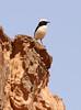 Mourning Wheatear (Wild Chroma) Tags: wadi rum desert jordan birds passerines wheatear wadirum oenanthe lugens oenanthelugens