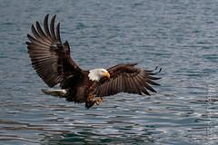 Bald Eagle, mature (karenmelody) Tags: accipitridae accipitriformes alaska animal animals baldeagle bird birds haliaeetusleucocephalus kachemakbaynearhomer location usa vertebrate vertebrates