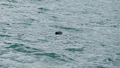 Seal, St Ives (Dave_A_2007) Tags: animal mammal nature seal wildlife saintives cornwall england