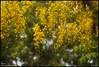 വിഷു ആശംസകൾ... (R.Sreeram) Tags: vishu vishugreetings kanikonna cassiafistula happy happiness