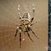 baby Garden Spider - Araneus diadematus